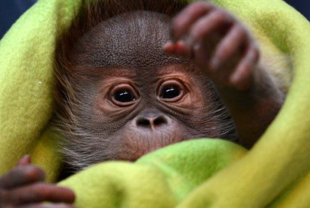 Rieke será trasladada a Monkey Wolrd en el Reino Unido.