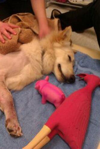 Pat Clark, quien dirige una organización benéfica canina en Cambridge, l...