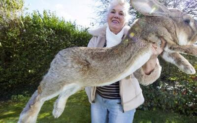 Más problemas para United: un conejo gigante murió durante un vuelo de l...
