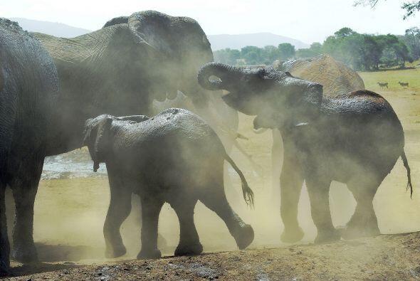 Reportes indican que el elefante africano es una especie que corre pelig...