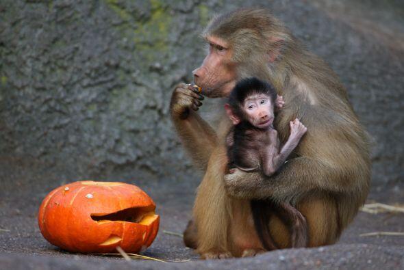 Parece que el pequeño monito está muy asustados pero su mamá sí se está...