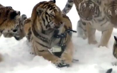 Tigres cazaron un dron con el que eran grabados por una cadena de televi...