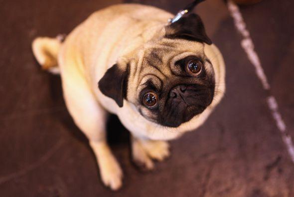 Pug: Esta es la raza que se lleva el premio al perro ideal para un depar...