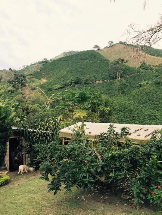 Siembras de café en Manizales, Colombia