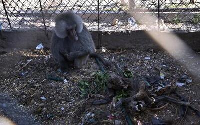 Animales 360 con Xiomara: triste realidad en zoológico de Gaza tras sema...