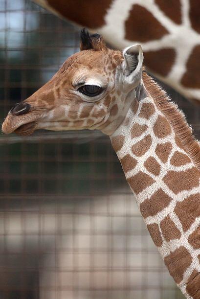 Bititi dio a luz a gemelos, un fenómeno muy raro entre jirafas, p...