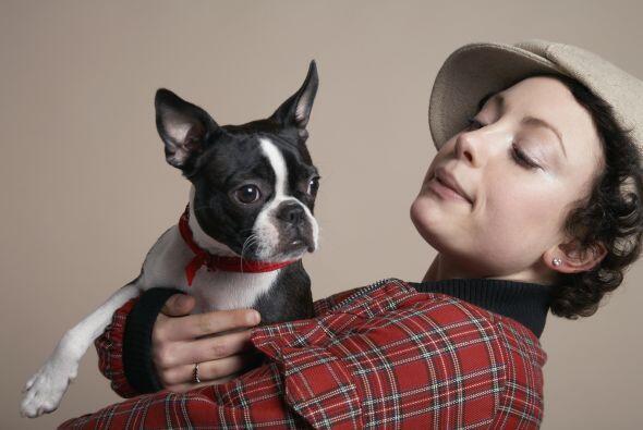 Bulldog francés: Es otro pequeñin que te hará las tardes mucho más amena...