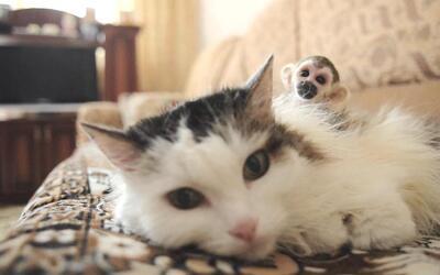 Este pequeño mono casi muere abandonado por su madre pero esta gata lo a...