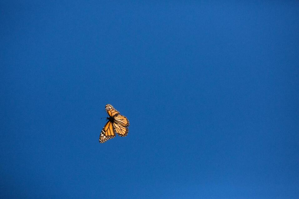 A migrating butterfly confronts the great snowstorm in Mexico JDearing_a...