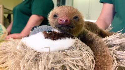 Koda, un pequeño y tierno perezoso te espera en Busch Gardens