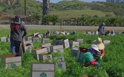 La falta de trabajadores para la agricultura en California obliga a mejo...