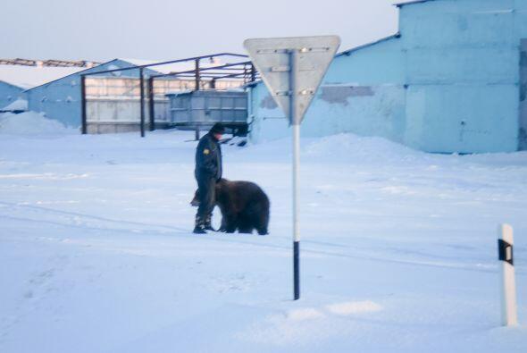 Sergey estaba sorprendido de ver al oso brincar y jugar como si fuera un...