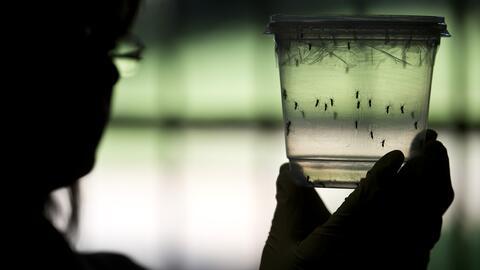 El primer lote de mosquitos portadores del virus del Nilo se encontr&oac...