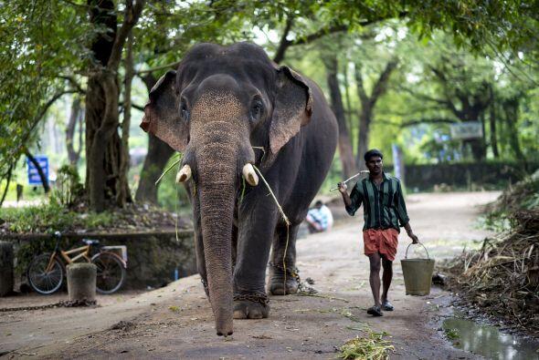 En la india un Mahout empieza su carrera desde muy joven, en los campame...