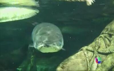 El pez Pirarucú: un gigante del Amazonas en peligro de extinción