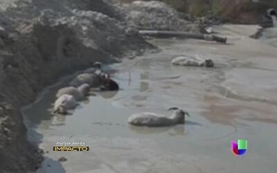 Un pastor y sus nueve ovejas estuvieron a punto de ser tragados vivos po...