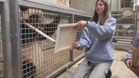 El videíto: un panda con aires de Picasso