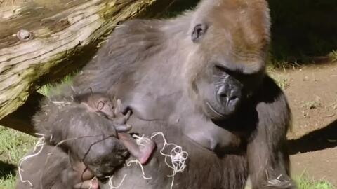 Enternecedoras imágenes de un bebé gorila en el zoológico de San Diego