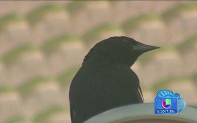 Pájaros atacantes en Iowa es como película de suspenso
