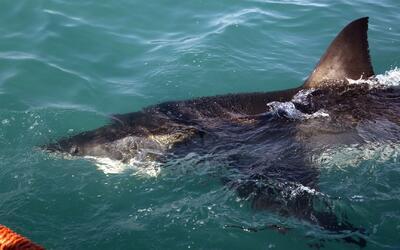 Tiburones blancos ahuyentan a bañistas en costas californianas