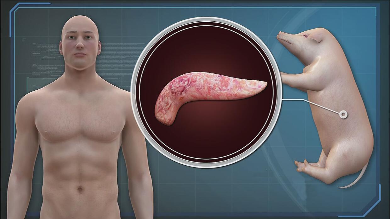Los embriones humano-animales financiados por el gobierno