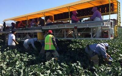 Campesinos cosechan brócoli en California.