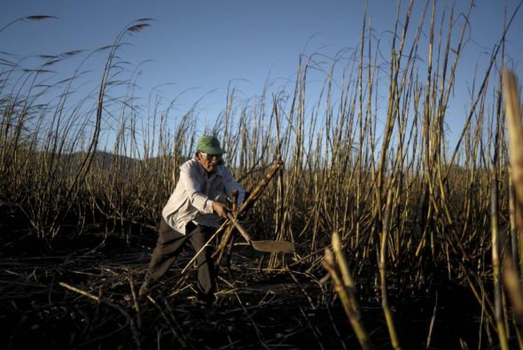 Actualmente, el cultivo se hace en mayores proporciones en el país centr...