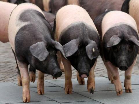 Estos cerdos  de campo son parte de una protesta de  agricultores   alem...