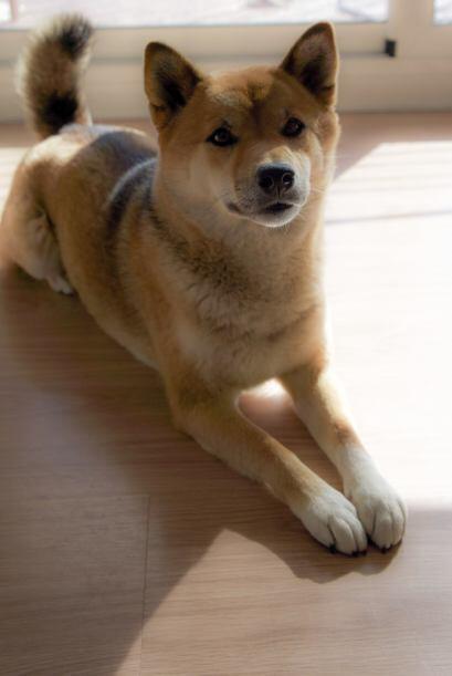 Shiba inu: Es un amigo de origen japonés de tamaño mediano con pelo rela...
