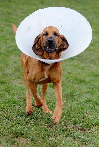 Esta condición es un problema oftalmológico muy frecuente en los perros,...