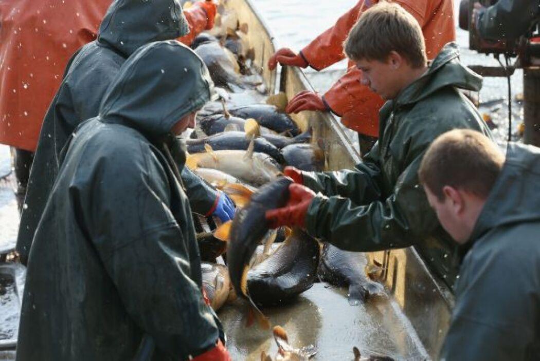 Pescadores escogen los peces en una especie de carpa durante la cosecha...