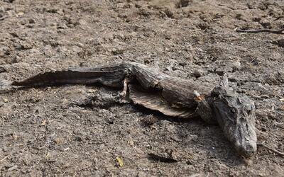 La sequía amenaza a los caimanes en Paraguay