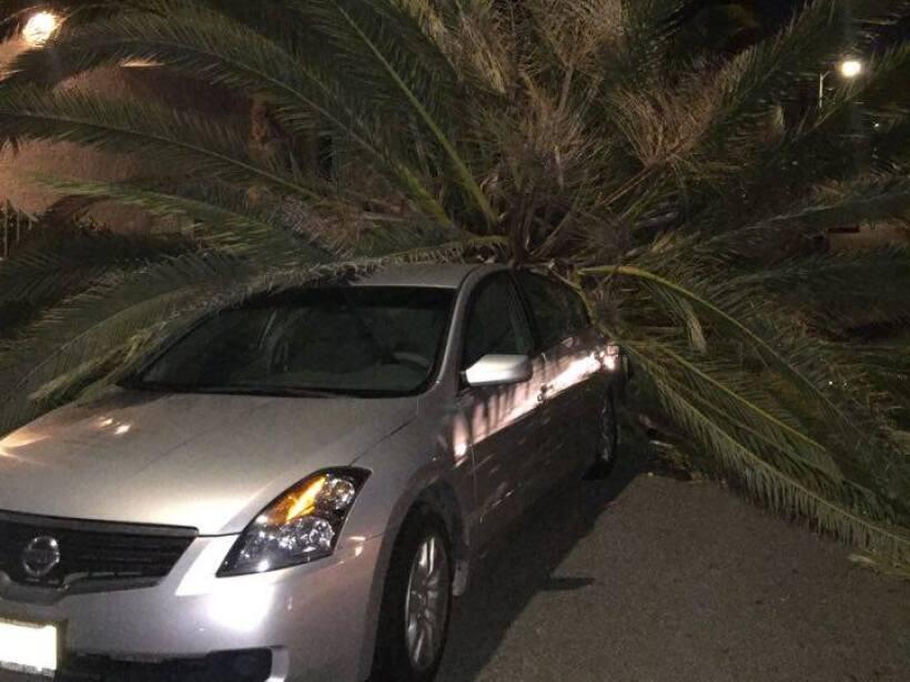 La palmera se desplomó sobre un vehículo en Venice Beach