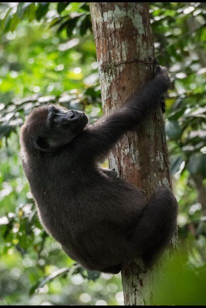 Una mamá gorila fue fotografiada en un momento enternecedor, cuid...