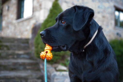 1) Labrador Retriever: Es la raza de perro más popular de la ciud...