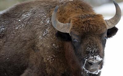 En video: la respuesta de un rebaño de bisontes al ataque de una manada...