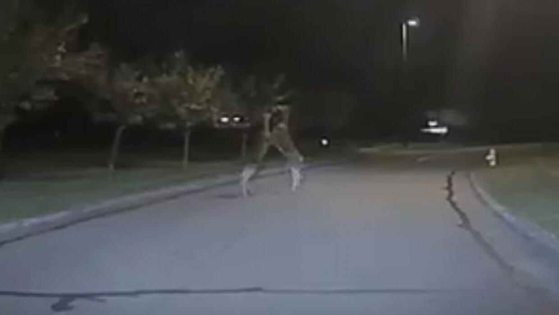 Una patrulla de policía se topa con una pelea de ciervos en plena calle