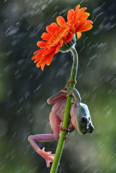Unas ranas se refugian contra la lluvia bajo las flores.