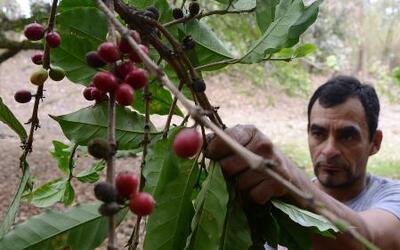 Hongo afecta seriamente el café centroamericano