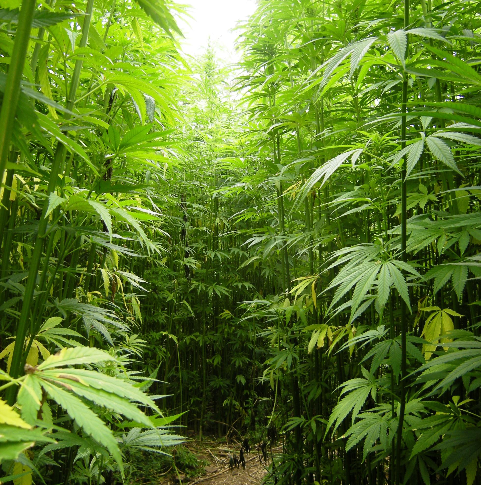 Chile Autorizó La Plantación De Marihuana Más Grande De América Latina