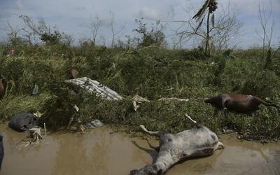 Dos caballos muertos a la orilla de un camino después del paso de...