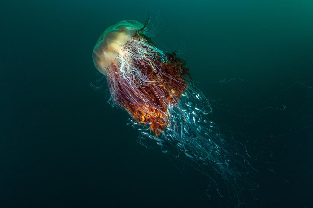 'Autostopistas', medusas melena de león. Fotografía tomada en St Kilda,...