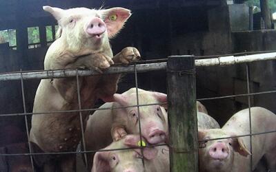 Según ARM, Los animales son inmovilizados por sus extremidades, o...
