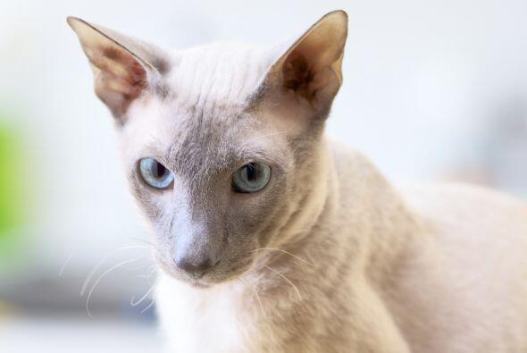 Otros gatos muy fuertes son los peterbald. Aunque luzcan inofensivos, so...