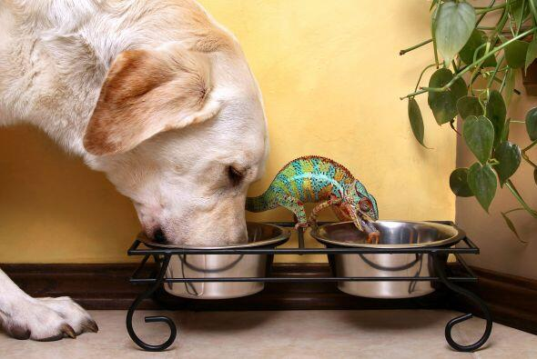 El Labrador mete muchísima comida en su hocico y, junto a él, el camaleó...