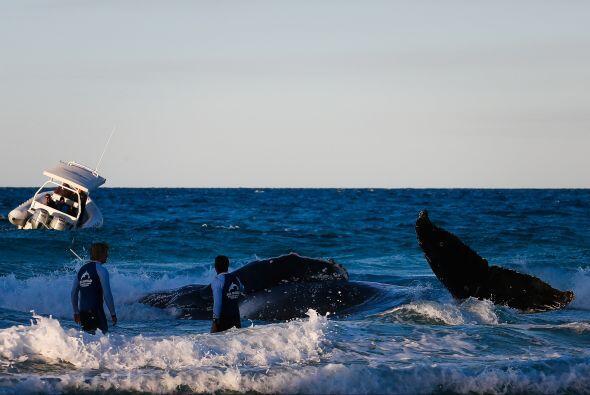 Aunque el rescate de la ballena de dos años de edad tuvo que esperar has...