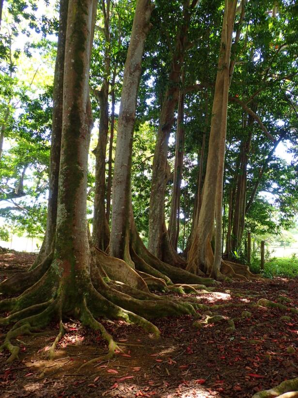 Rudraksha bosque