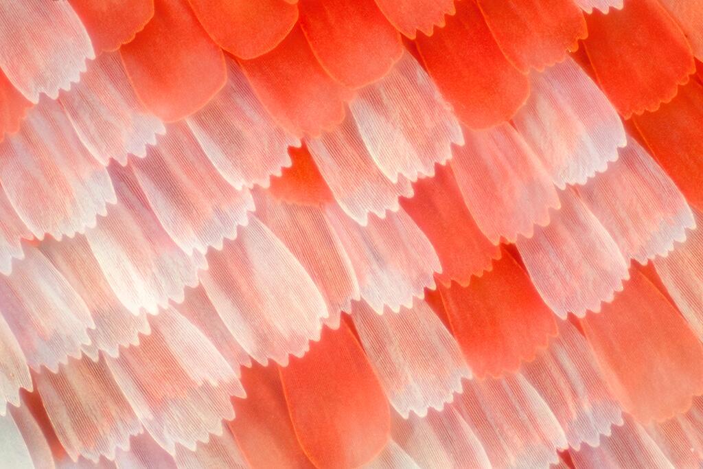 Las alas de mariposas como nunca antes las viste Escamas en el ala de un...