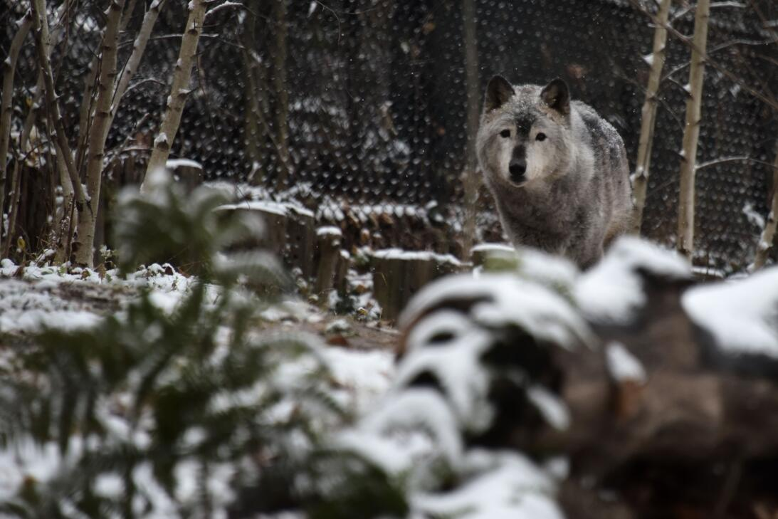 A grey wolf walks under falling snow at the Smithsonian zoo in Washingto...
