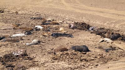 """""""Se metieron en el barro y no pudieron escapar"""": encuentran 191 caballos salvajes muertos en Arizona (fotos)"""